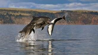 Image of bottlenose dolphins in the Moray Firth, Scotland